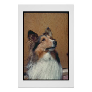 Shetland Sheepdog Sheltie Poster