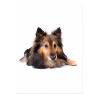 Shetland Sheepdog, Shetie ( Sable) looking cheeky Postcard