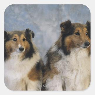 Shetland Sheepdogs Stickers