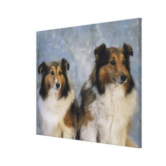 Shetland Sheepdogs Stretched Canvas Prints