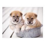 Shiba Inu puppies in aluminium tub Postcards