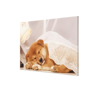 Shiba Inu puppy sleeping under a net curtain Canvas Print