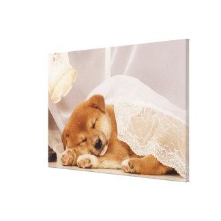 Shiba Inu puppy sleeping under a net curtain Gallery Wrap Canvas