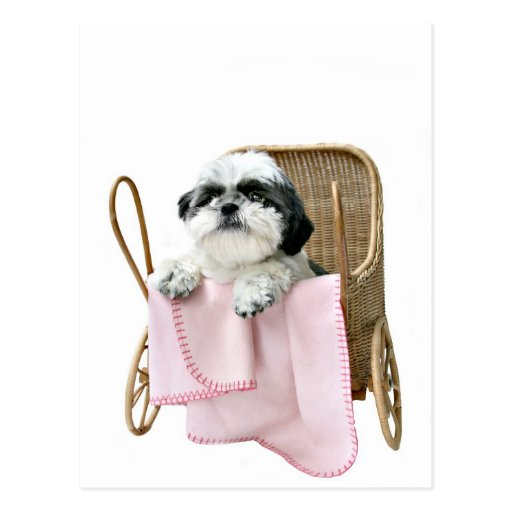 Shih Tzu baby buggy Post Cards