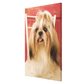 Shih-tzu dog canvas print