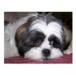 Shih Tzu Dog Photograph Post Card