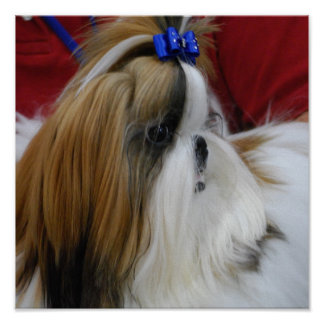 Shih Tzu Dog Poster