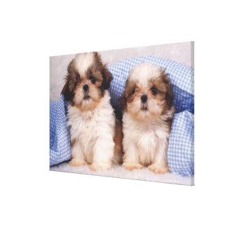 Shih Tzu puppies under a checked blanket Canvas Print