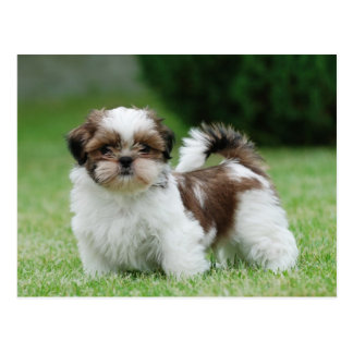 Shih tzu puppy postcard
