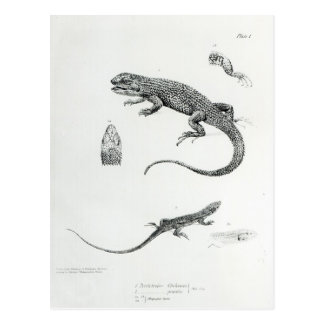 Shingled Iguana Postcard