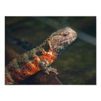 Shinisaurus crocodilurus photograph
