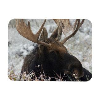 Shiras Bull Moose 2 Magnet