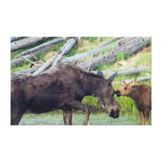 Shiras Cow Moose with Calf Canvas Print