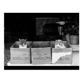 Shop window cats postcard