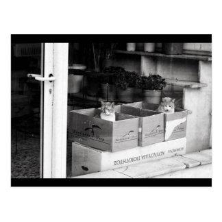 Shopwindow cats postcard