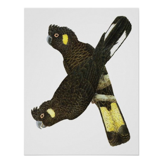 Short-billed & Yellow-tailed Black Cockatoos Poster