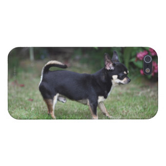 Short Haired Chihuahua Standing iPhone 5 Covers