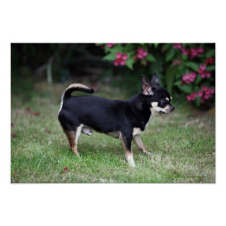 Short Haired Chihuahua Standing Poster