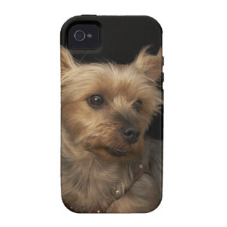 Short haired Yorkie dog looking to the right Vibe iPhone 4 Cases