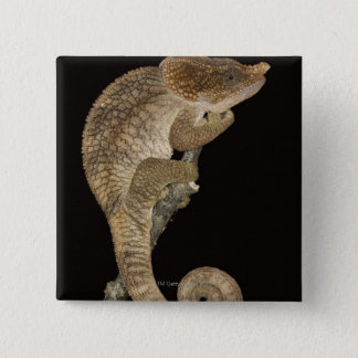 Short-horned chameleon(Calumma brevicornis) 15 Cm Square Badge