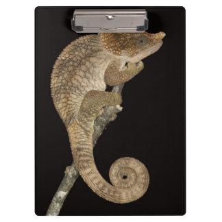 Short-horned chameleon(Calumma brevicornis) Clipboard