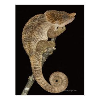 Short-horned chameleon(Calumma brevicornis) Postcard
