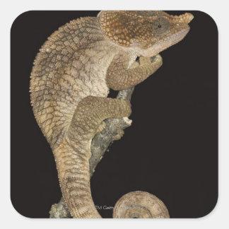 Short-horned chameleon Calumma brevicornis Stickers
