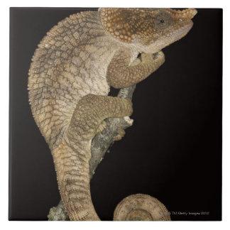 Short-horned chameleon(Calumma brevicornis) Tile