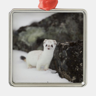 Short-tailed weasel hunting for voles christmas ornament