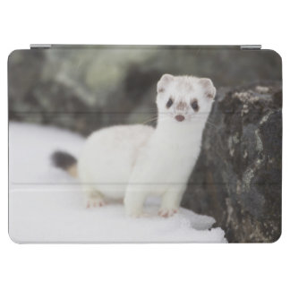 Short-tailed weasel hunting for voles iPad air cover