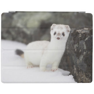 Short-tailed weasel hunting for voles iPad cover