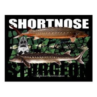 Shortnose Sturgeon PostCard