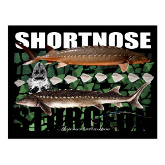 Shortnose Sturgeon Scutes PostCard