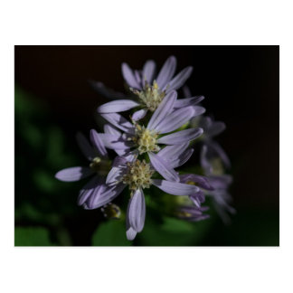 Short's Aster Purple Autumn Wildflower Postcard