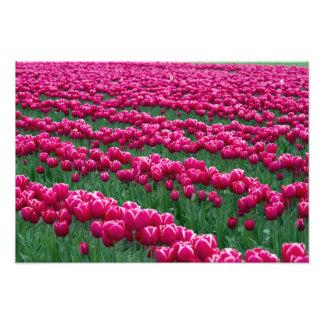 Show garden of spring-flowering tulip bulbs in photo print