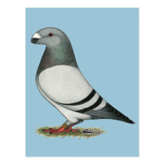 Show Racer Blue Bar Pigeon Postcard