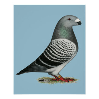 Show Racer Blue Checker Pigeon Poster