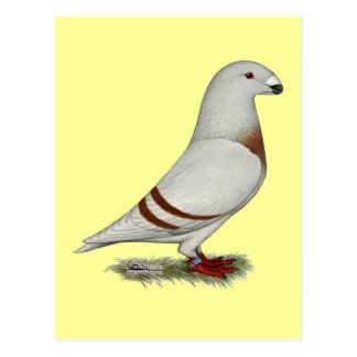 Show Racer Red Bar Pigeon Post Cards
