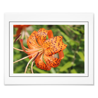 Show-Stopping Orange Tiger Lily Photo
