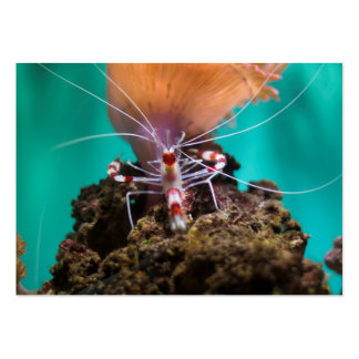 Shrimp Climbing An Anemone Pack Of Chubby Business Cards