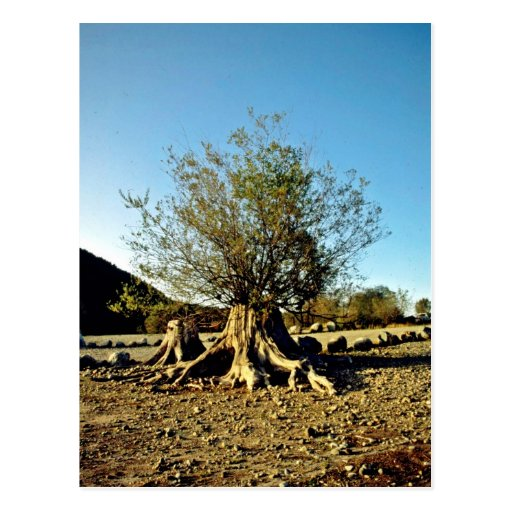 Shrub Growing From Tree Stump Post Cards