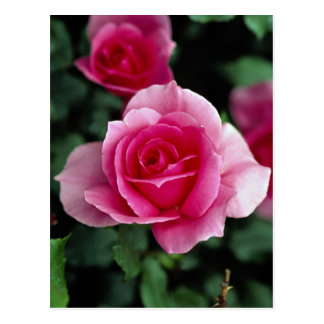 Shrub Rose 'Country Dance' Roses Post Cards