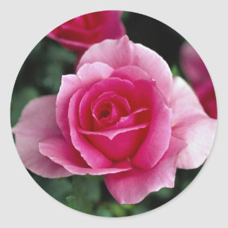 Shrub Rose 'Country Dance' Roses Round Stickers