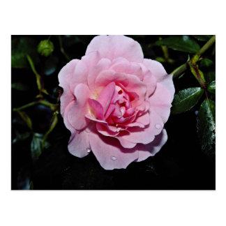 Shrub Rose 'Golden Wings' White flowers Postcards