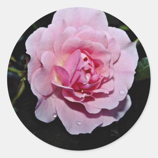 Shrub Rose 'Golden Wings' White flowers Stickers