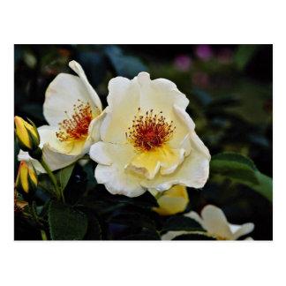 Shrub Rose Golden Wings Yellow flowers Postcard