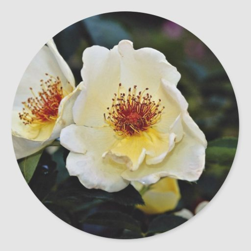 Shrub Rose 'Golden Wings' Yellow flowers Round Sticker