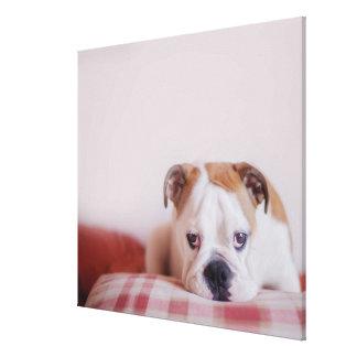 Shy English Bulldog Puppy Stretched Canvas Prints