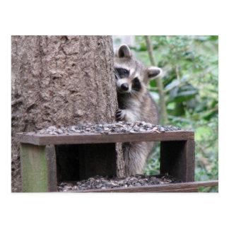 Shy Raccoon Postcard