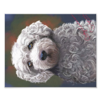 Shyanne Bichon Frise/King Charles Cavalier Photographic Print